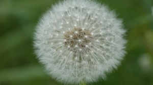 The white puff balls of seeding dandelions are littered along Manitoba boulevards and medians and they are a problem for allergy sufferers, Dobrowolski says.